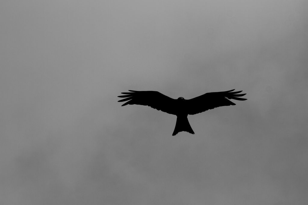 Red Kite Silhouette over Crowsley Park